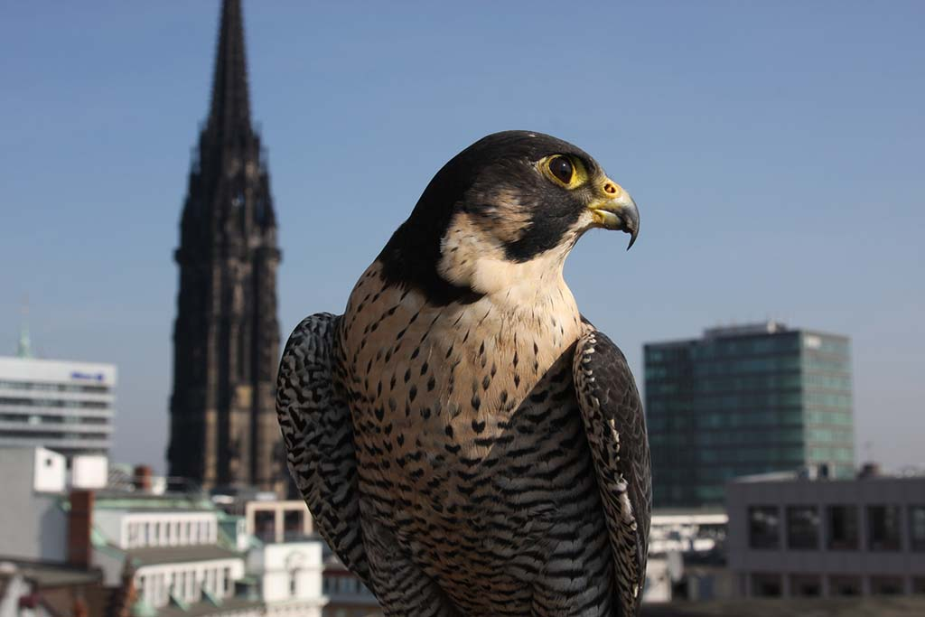 In a city like Hamburg, peregrines find a lot of pigeons to hunt. (Photo credit: © Grospitz & Westphalen / NDR Naturfilm / Doclights GmbH)