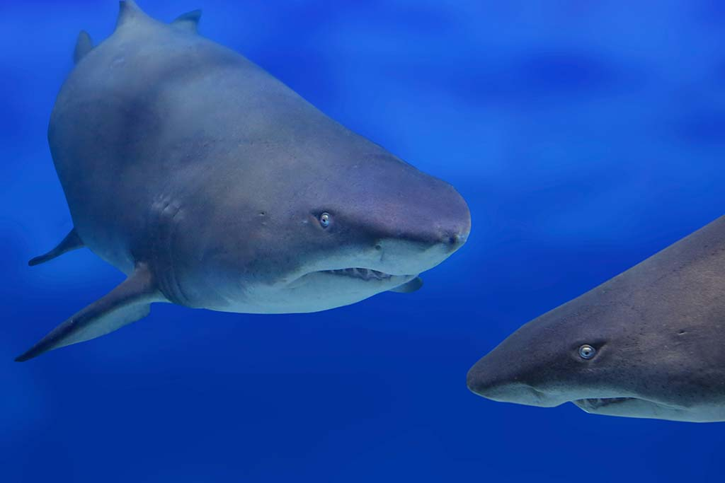 As scarey as they are, sharks are infrequent attackers of humans.(Photo credit: © iStockphoto)
